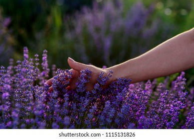 Female hand touching blooming lavender in the field