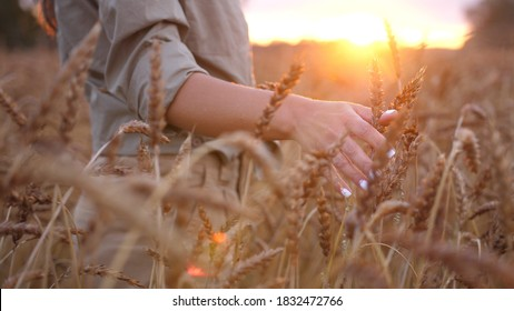 Female hand touching wheat. Agriculture harvest grove. Close Up of farmers hand over wheat growing in summer day. Agricultural growth and farming concept.