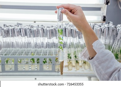 Female hand in white robe with a test tube closed by aluminum foil with in vitro cloned microplant in a nutrient medium on background with stand of test tubes with microplants