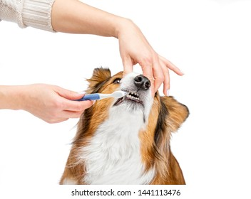 Female hands brushing a dog's teeth. Toothbrush and paste.
