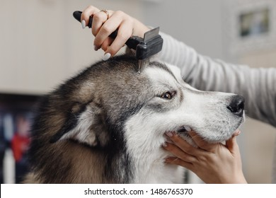 Female hands combing head of large, shaggy husky dog close-up.