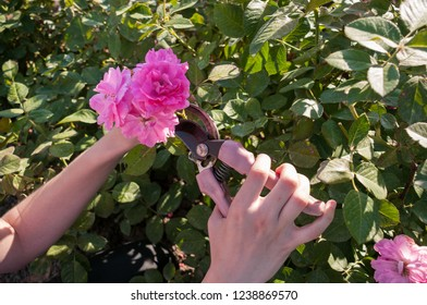 Female hands cut pink roses at dacha with scissors