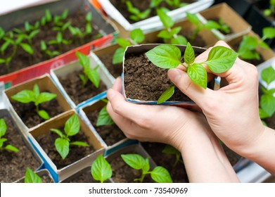 female hands hold a young seedling over boxes with other sprouts