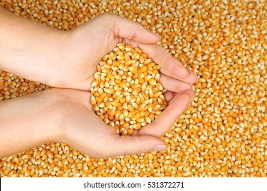 Female hands holding corn seeds, closeup