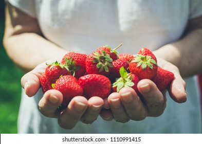 Female hands holding fresh strawberries close up. Senior woman holding freshly harvested strawberries from own garden in hands. Summertime concept.