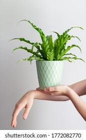Female hands holding plant, bird's nest fer
