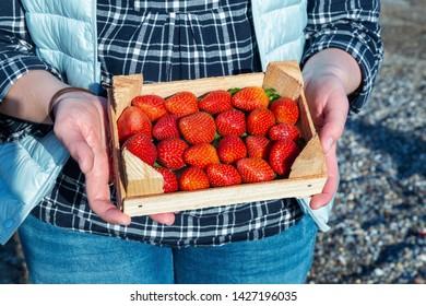 Female hands holding wooden box full of ripe straberry