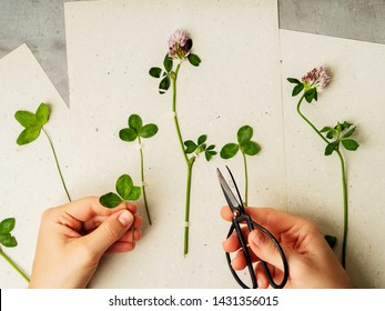 Female hands making herbarium from clover on craft paper. Dried herbs and dried flowers for making herbarium. Floral background.
