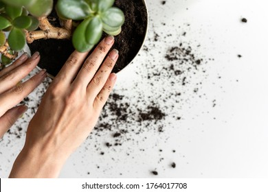 Female hands plant a plant in a new pot. Caring for indoor plants. Home garden in the apartment, in the country, in the city. Transplanting potted flowers into a larger pot. Hobby for catering