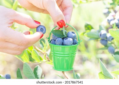 Female hands with red nails holding a tiny steel bucket with handpicked blueberries at the berry farm