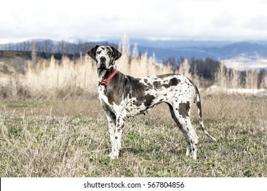Female Harlequin Great Dane (also called german mastiff).