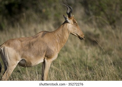 Female Hartebeest on the Masai Mara