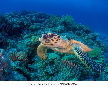 Female hawksbill turtle swimming over coral reef