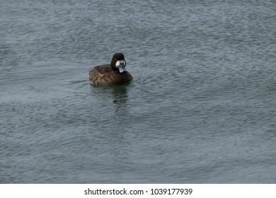 Female Hen Lesser Scaup Duck