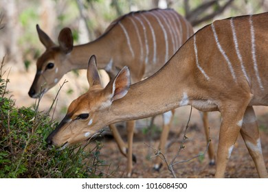 female herd of lowland nyala, Tragelaphus angasii, nibbling on leaves walking and grazing in the forest