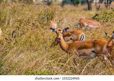female Heuglin's gazelle - Eudorcas tilonura looking straight into the camera licking its nose