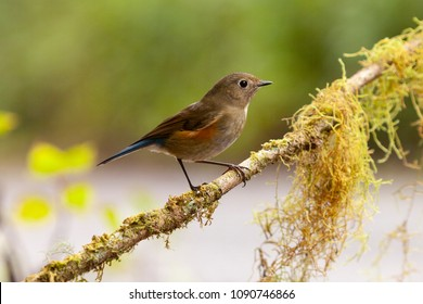 female Himalayan Bluetail or Himalayan red-flanked bush-robin (Tarsiger rufilatus) on a branch