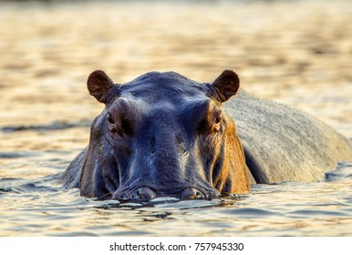 A female hippopotamus moving through the shallow water of Chobe River, with head and body exposed. Looking straight ahead, with the golden light of late afternoon glowing on the left side of her face.