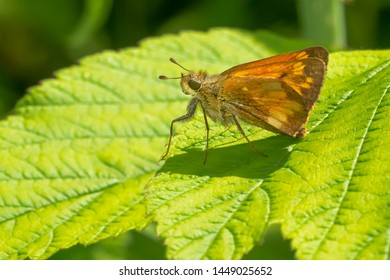 A female Hobomok Skipper Butterfly is resting on a green leaf. Taylor Creek Park, Toronto, Ontario, Canada.