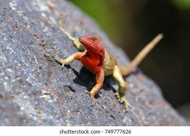 Female Hood lava lizard (Microlophus delanonis) on Espanola Island, Galapagos National park, Ecuador. It is found only on Espanola Island.