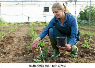 Female horticulturist with mattock  working with  pea and soy seedlings in  hothouse
