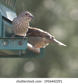 A female house finch (Carpodacus mexicanus) perches on the bird feeder with a sunflower seed in her beak.