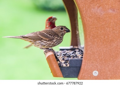 A female House Finch eating seeds from a feeder.  Behind her you can see the red head of a male House Finch looking toward the camera.