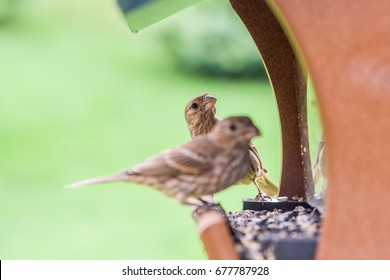 A female House Finch eating seeds at a backyard feeder is joined by a second female.  The camera is focused on the head of the second finch as she looks over the back of the first.