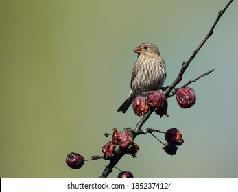 Female House Finch Feeding on Red Berries on Green Background in Fall