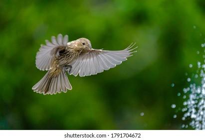Female House Finch Landing Near Fountain with Wings Spread
