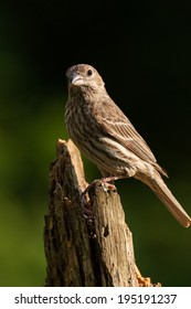 A female House Finch is perched on a pine stump.