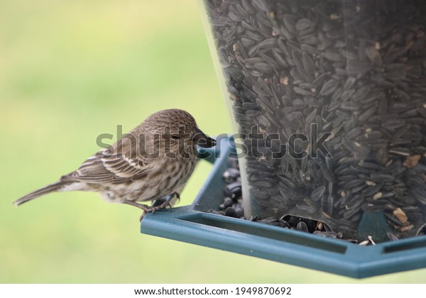 A female house finch perched on a dark green bird feeder filled with black oil sunflower seeds. The bird has a seed in her mouth and her feathers are being moved in the wind as she looks at the camera