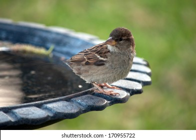 A female house finch sitting at a birdbath during a spring afternoon.