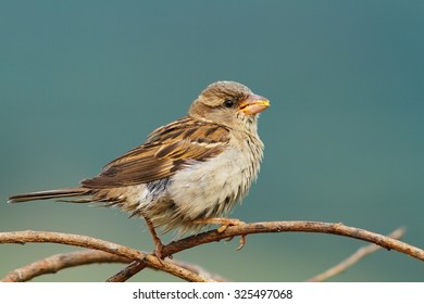 female house sparrow eating maize seeds on a twig ( Passer domesticus )