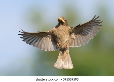 Female House Sparrow flying with feed for nestlings
