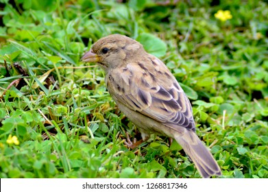 Female House Sparrow in India