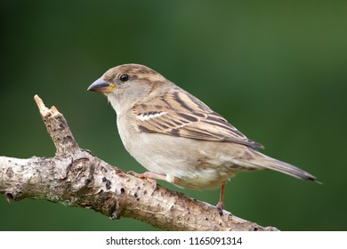 Female House Sparrow (Passer domesticus) in the garden.