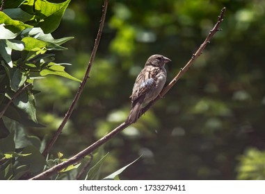 A female house sparrow (Passer Domesticus) perched on a tree branch