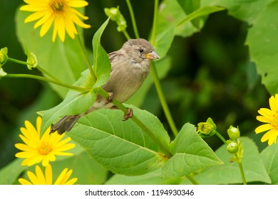 Female House Sparrow perched on a Cup Plant stem. High Park, Toronto, Ontario, Canada.
