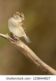 Female House Sparrow Perched on Branch