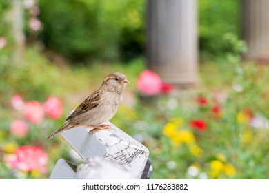 Female House Sparrow sitting on chair in city park Berlin Passer domesticus