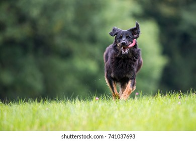 Female Hovawart dog on perfect green background. Image with space for a text
