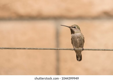 A female hummingbird perches on a wire and rests from its never-ending search for nectar.
