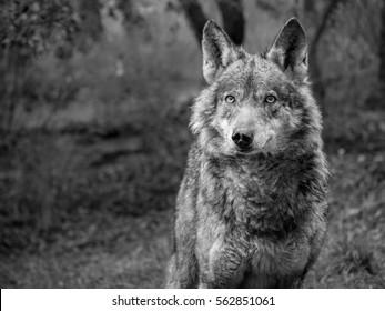 Female of iberian wolf (Canis lupus signatus) in her natural habitat