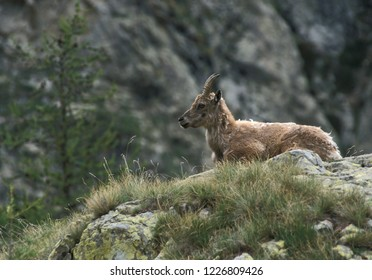 Female ibex (Capra ibex). Mercantour National Park, Provence, southern France.