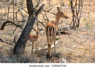 A female Impala antelope (Aepyceros melampus) with its newborn calf in the savannah of South Africa