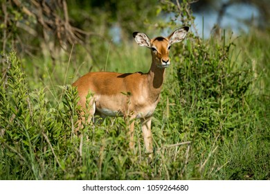 Female impala facing right in tall bushes