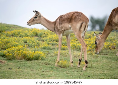 Female Impala grazing on some yellows flowers