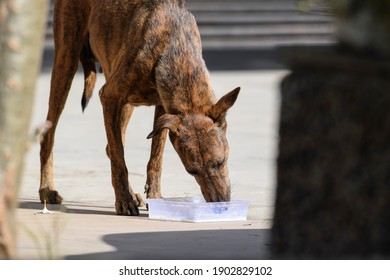 Female Indian hungry street dog drinking milk at indian house near gate at background
