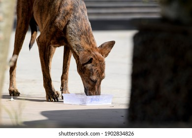 Female Indian hungry street dog, mother of puppies, thirsty drinking milk at indian house near gate as background